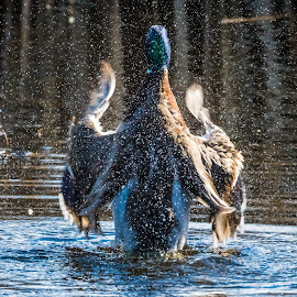 Mallard Conductor by Keith Sutherland - Nature Up Close Natural Waterdrops ( duck, malard )