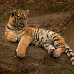 Amurtiger (Panthera tigris altaica) by Marc Zangger - Animals Lions, Tigers & Big Cats ( tiger cub, big cat, siberian tiger, amur tiger, tiger, wildlife, baby, panthera tigris altaica )