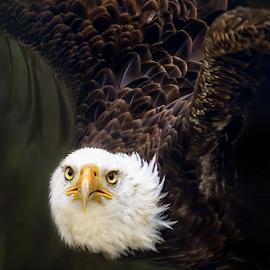 American bald eagles by Sushmita Sadhukhan - Animals Birds