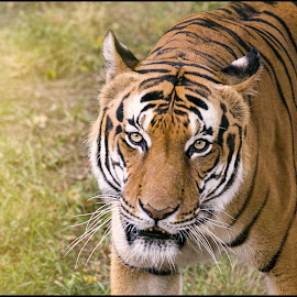 Tiger by Jana Vondráčková - Animals Lions, Tigers & Big Cats