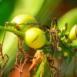 Wild fruits by Shiva Ranjita - Nature Up Close Gardens & Produce ( wild, green, fruits, day, garden,  )