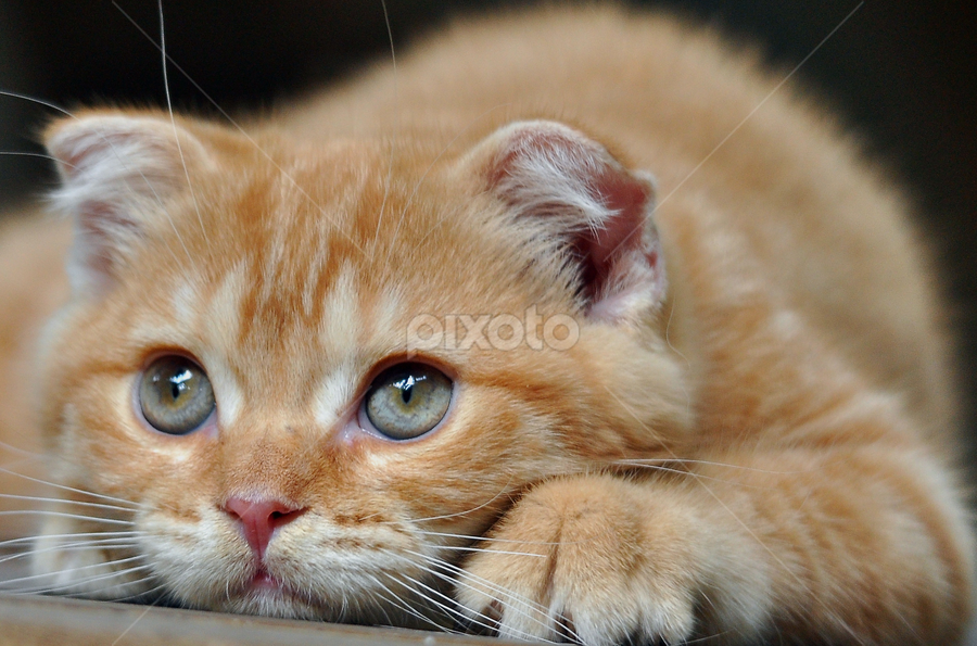 Waiting for You by Cacang Effendi - Animals - Cats Kittens ( cats, kitten, cattery, chandra, scottish, kitty )