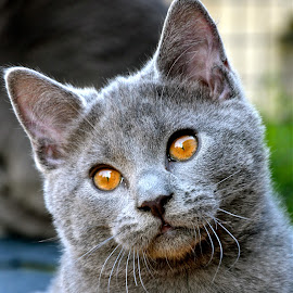 Imeros by Serge Ostrogradsky - Animals - Cats Kittens ( chartreux )