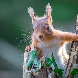Red squirrel by Michael  Conrad - Animals Other Mammals ( tree, red squirrel, wildlife, forest, woodland, ivy, mammal, animal, eyes )
