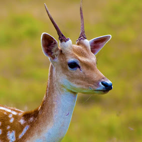 Young Fallow Deer by Ian Flear - Animals Other Mammals
