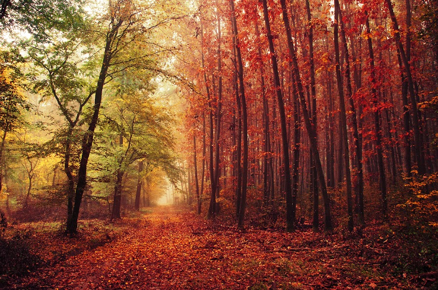 20171021-DSC_2707 by Zsolt Zsigmond - Landscapes Forests ( red, autumn, colors, trees, forest, woods )