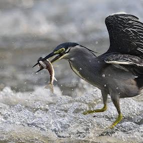 Little Heron by Young Sung Bae - Animals Birds ( little heron, fish, pwctaggedbirds, fishing, nam yang ju )