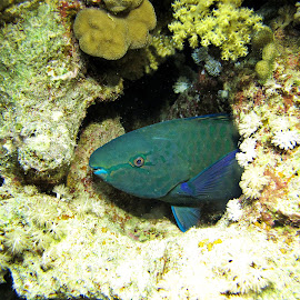 parrotfish sleep by AB Rossouw - Nature Up Close Water ( coral, blue, fish, scuba, dive, night, sleep )