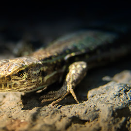 Gallotia, galloti by BO LED - Animals Reptiles ( macro, lizard, nature, tenerife, wildlife, reptile, closeup, animal,  )