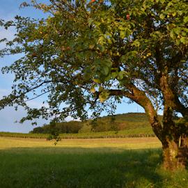 Swiss Apple Tree by Viktorija Stanarčić - Nature Up Close Trees & Bushes ( field, apple tree, sky, nature, green,  )