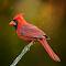 Redbird On A Stick.jpg