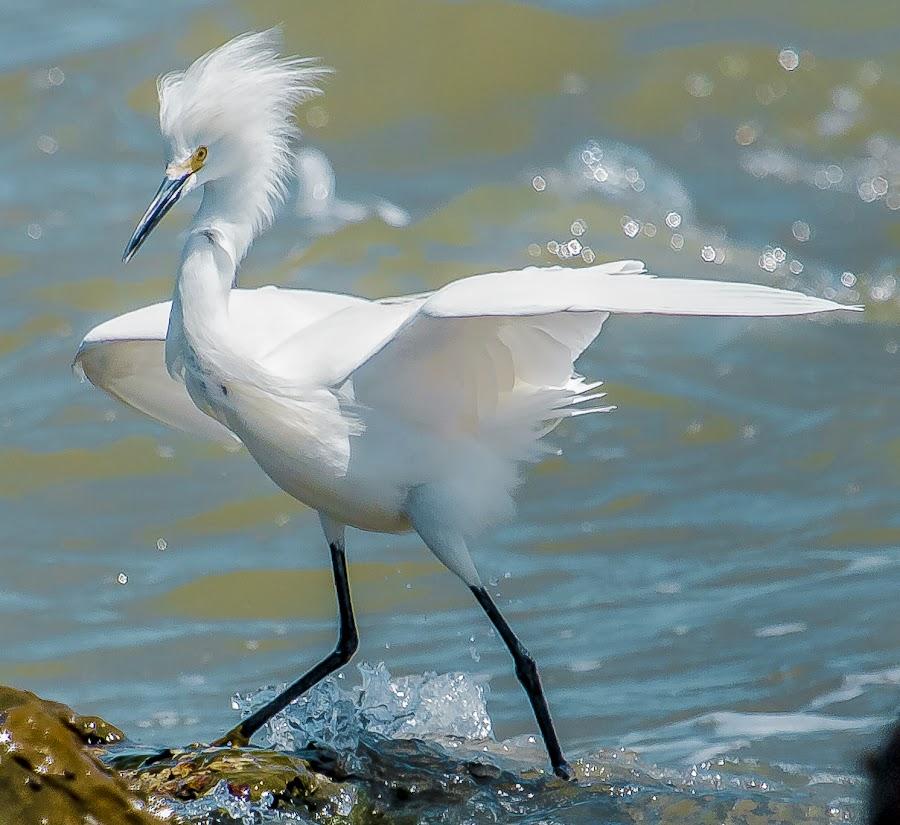 Snowy Egret by Lawrence Busch - Animals Birds ( wading, pwctaggedbirds, galveston texas, snowy egret )