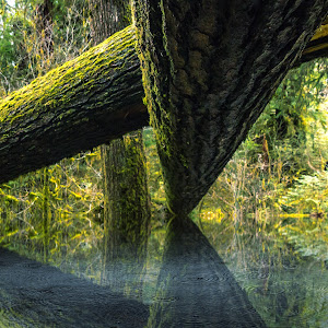 Hoh Rainforest Log Reflect.jpg