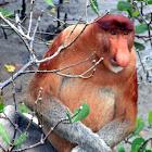 Proboscis nosed monkey