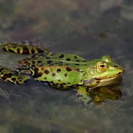 Frosch  by Elke Krone - Animals Amphibians ( schwimmen, ein, frosch, tier, grün )