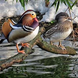 par mandarinskih pataka by Dunja Kolar - Animals Birds ( maksimir, croatia, zagreb, patke )