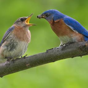 Eastern Bluebirds / merlebleus de l'est by Rachel Bilodeau - Animals Birds ( merlebleus de l'est, bluebirds, eastern )