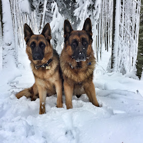 Dogs by Ivana Tilosanec - Animals - Dogs Portraits ( animals, winter, dogs, nature, snow, dogs playing, dog portrait, cute, german shepherd, dog,  )