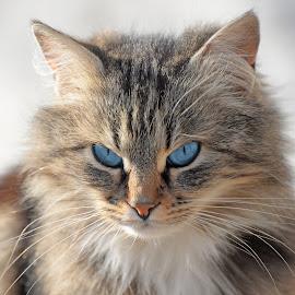 by Maja  Marjanovic - Animals - Cats Portraits