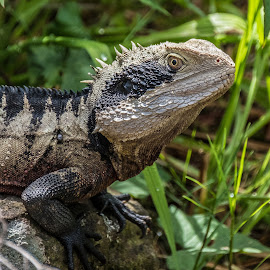 Eastern Water Dragon by Brent McKee - Animals Amphibians ( fuji x, lizard, eastern water dragon, lane cove national park )