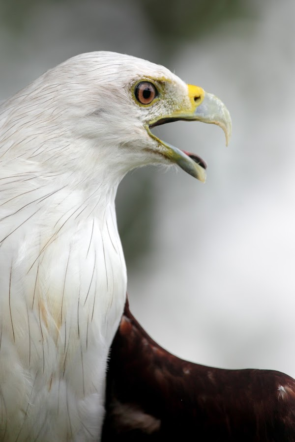 Brahminy Kite by Annemarie Rulos  - Animals Birds