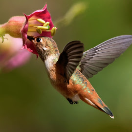 Yummy Nectar by Raphael RaCcoon - Animals Birds ( bird, hummingbird, nectar, flower, hummer )