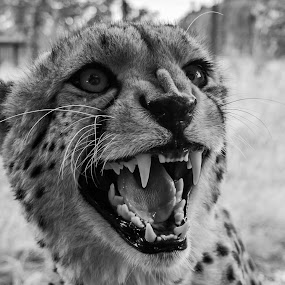 Snarling Cheetah by Sinclair Parkinson - Animals Lions, Tigers & Big Cats ( canine, canon, big cat, cheetah, cat, whf, fat spanner photography, sinclair parkinson, wildlife, feline, eye, spot )