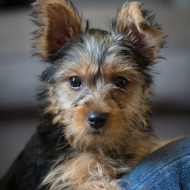 Toby the Yorkie by Givanni Mikel - Animals - Dogs Puppies ( yorkie, brown, puppy, terrier, black )