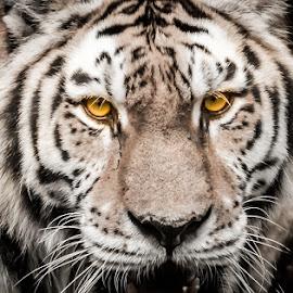 Beware Guys!! by Rananjay Kumar - Animals Lions, Tigers & Big Cats ( closeup, canon70d, animal, scary, wild, eyes, canon,  )