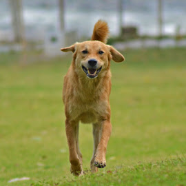 by Malay Maity - Animals - Dogs Running