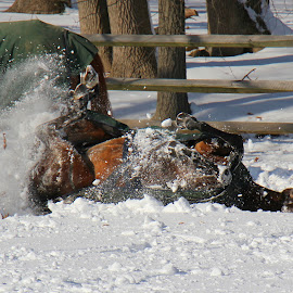 Making Snow Angels - Horsey Style by Wendy Meehan - Animals Horses ( horses )