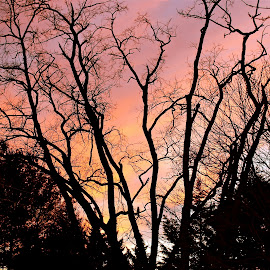 Silhouettes of bare trees in winter. by Peter DiMarco - Nature Up Close Trees & Bushes ( tree, nature, sunset, silhouette, trees )