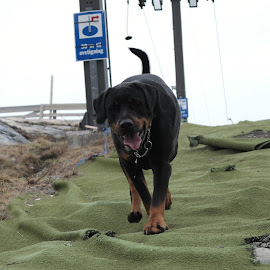 by Ricky Friskilæ - Animals - Dogs Running ( fitnessdog, dobermann, dog, running, rottweiler )