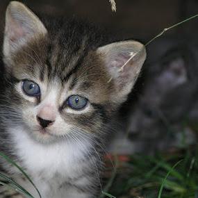 by Lemšen Bassanese - Animals - Cats Portraits