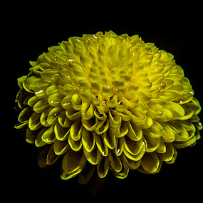 Dome by Danny Charge - Flowers Single Flower ( macro, flowers, macro photography, up close, single flower, yellow, cute, water, flower )