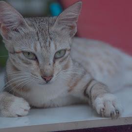 Wild cat in India by Ruth Holt - Animals - Cats Portraits ( kerala, friendly, cat, india, cute, varkala )