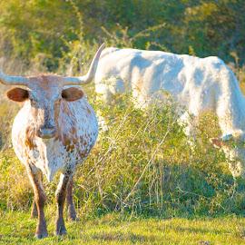 Longhorn by Robbie Green - Animals Other Mammals ( longhorn, grazing, beef, herd, steer, texas, cow, cattle, bull )