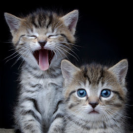 I don't get it by Eric Christensen - Animals - Cats Kittens ( two, funny, blue eyes, kittens, tabbies )