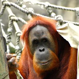 Smile by A.j. Amos - Animals Other ( zoo, nature, ape, orangutan, wildlife )