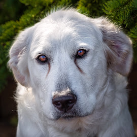 Sophie by Dave Lipchen - Animals - Dogs Portraits ( great pyrenees )