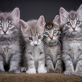Anna's babies by Eric Christensen - Animals - Cats Kittens ( sitting, furry, kittens, four, tabby )
