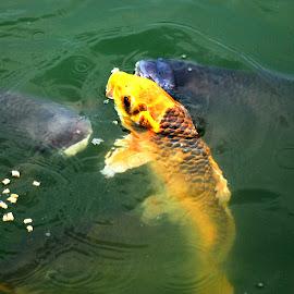 by S S Bhattacharjee - Animals Fish