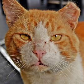 Veteran by Zoran Dangubić - Animals - Cats Portraits ( cat, old, veteran, invincible, i'm the boss of all )