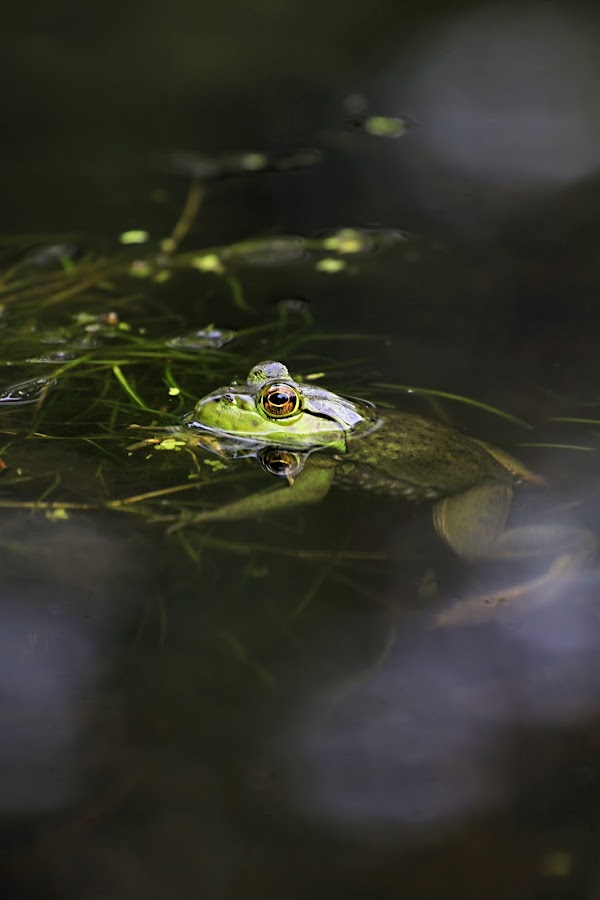 Floater by Jen Millard - Animals Amphibians ( nature, frog, green, wildlife, pond, animal )