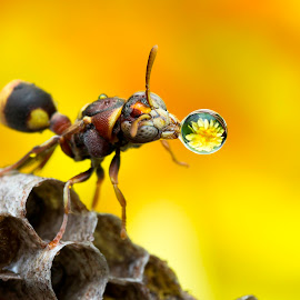 Wasp 160721A by Carrot Lim - Animals Insects & Spiders ( reflection, macro, wasp, waterdroplet, colours )