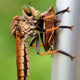 by Bams Cavallera - Uncategorized All Uncategorized ( #macro #nature #insect #fly )