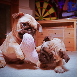 Hearts or darts? by Malcolm Hare - Animals - Dogs Playing