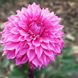 Pink Dahlia by Kamal Mallick - Instagram & Mobile Android
