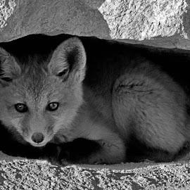 At The Den Door by Marko Ginsberg - Black & White Animals ( b&w, fox, kit, animal,  )
