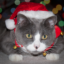 Waiting for Santa by Rod Davis - Animals - Cats Portraits ( holiday, cat, christmas, gray, bokeh, portrait, animal,  )